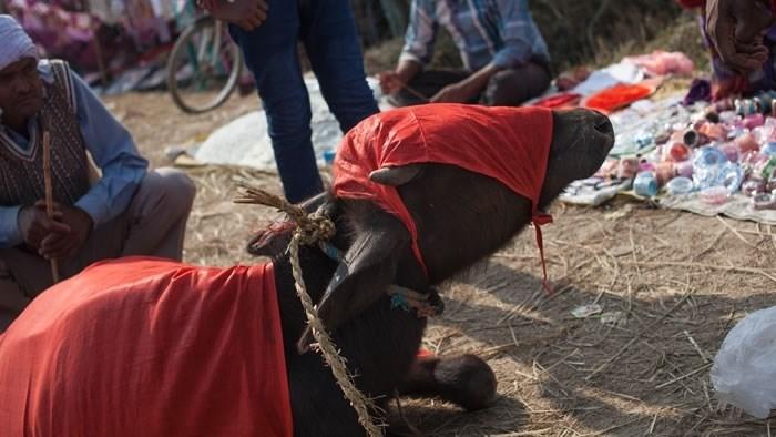 Waterbuffel op het Gadhimai festival (foto genomen door onderzoekers CIWF)
